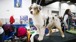 afghan hound national dog show behind the scenes at the 2015 national dog show nbc sports