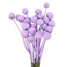 billy balls lavender billy flower