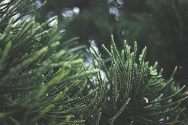 free stock photos of pine trees pexels