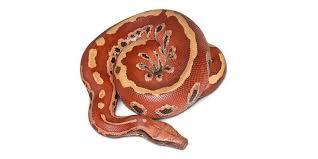 film ular phyton 13 jenis piton indonesia yang harus anda ketahui keberadaannya