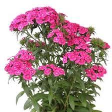dianthus flower dianthus perennial costa farms