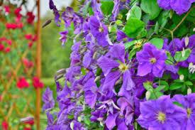 Purple Flower On A Vine - zone 7 climbing vines u2013 choosing hardy vines for zone 7 climates