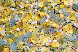 the fall of the ginkgo tree leaves the martha stewart