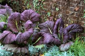 ornamental cabbage and kale mustard directory of plants