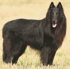 belgian shepherd kennel club belgian shepherd history personality appearance health and pictures