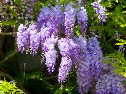 native chinese plants wisteria sinensis chinese wisteria world of flowering plants