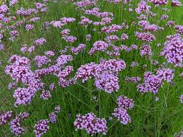 brazil native plants verbena bonariensis wikipedia