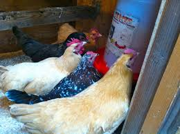 keeping chickens happy backyard chickens