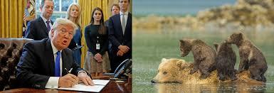 trump s desk bill allowing slaughter of alaskan bear cubs wolf pups sails