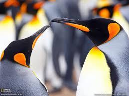 animals king penguins falkland islands desktop wallpaper nr