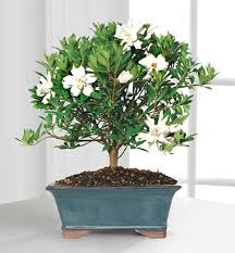 gardenia flower delivery gardenia bonsai plant gift next day flower delivery