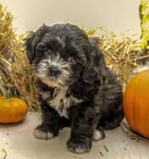 shi poo shih poo puppies for sale lancaster puppies