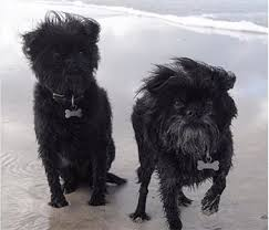 affenpinscher long hair affenpinscher the rare monkey dog