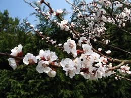 file apple tree flowers jpg wikimedia commons