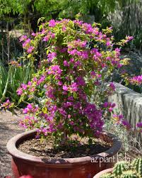 container gardening growing bougainvillea in pots ramblings