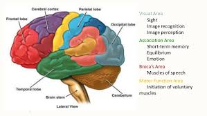 Image Of Brain Anatomy Brain Anatomy And Composition Cadev U0027t