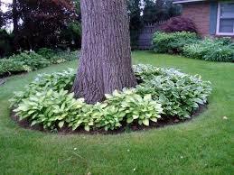 Backyard Trees For Shade - hostas around trees and hostas around my 2 backyard trees