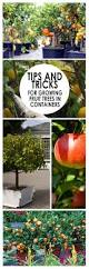 tips and tricks for growing fruit trees in containers fruit