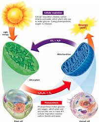 which plant cell organelle uses light energy to produce sugar photosynthesis cellular respiration fermentation biology rocks