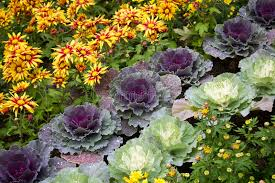 ornamental cabbage and flowers stock photo image 63305210