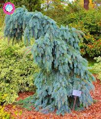 50pcs climbing blue spruce trees seeds picea pungens seeds evergreen