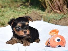 australian shepherd zu verkaufen django yorkshire terrier puppy for sale euro puppy