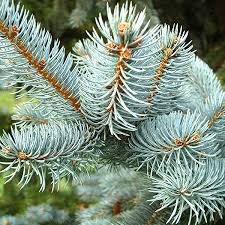 colorado blue spruce trees for sale fast growing trees