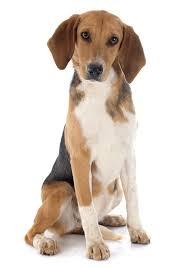afghan hound breeders qld harrier breeders australia harrier info u0026 puppies