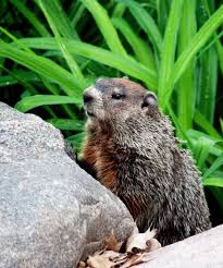 keeping groundhogs out of your garden home outdoor decoration