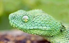 hd makes this bush viper looks like a real dragon imgur