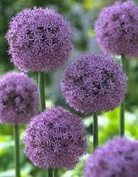 purple balls of allium flower bulb