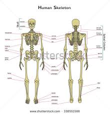 Skeletal Picture Of Foot Skeletal System Stock Images Royalty Free Images U0026 Vectors