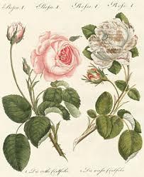 ornamental plants drawings america