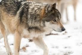 Washington wildlife images Washington wildlife officials to kill wolves again knkx jpg
