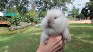 what is a lionhead rabbit small pets youtube