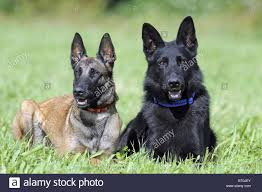 belgian sheepdog breeds belgian shepherd dog stock photos u0026 belgian shepherd dog stock