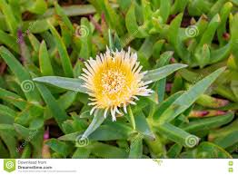 Fig Flower - carpobrotus edulis yellow hottentot fig highway ice plant flower