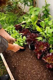 growing veggies in containers sa garden and home