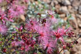 arizona native plants list desert plants u2013 page 2 u2013 grow with the flow permaculture llc