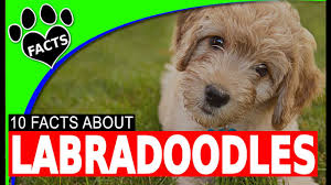 cockapoo vs bichon frise labradoodle dogs 101 interesting facts hybrid breed animal facts