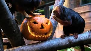 adorable baby sloth plays with pumpkin at london zoo youtube