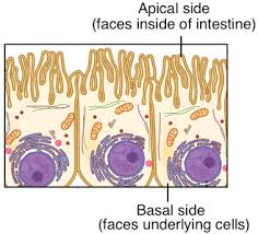 Which Cell Helps In Movement Of Bones Tissues Organs U0026 Organ Systems Article Khan Academy