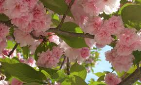 pink flower tree mlewallpapers blossoming cherry tree iii