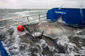 great white sharks off nantucket in the scientific spotlight