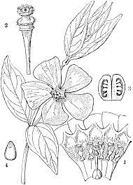 Vinca Flower Information - lesser periwinkle clipart etc