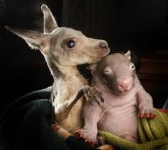 orphaned kangaroo and wombat are inseparable friends they even