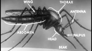 mosquito development