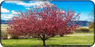 Profusion Flowering Crabapple - selkirk crabapple in all its glory sheridanmedia com