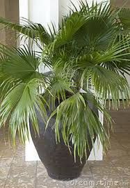 a large ceramic pot with a small palm tree on my deck http www