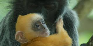 bbc earth the monkey that became a midwife